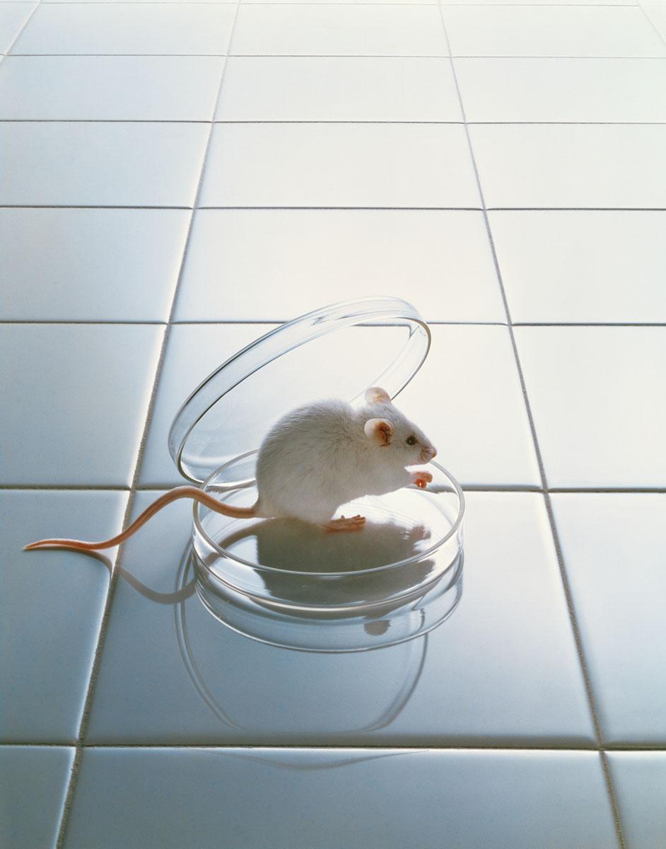 La photographie montre une souris sur une paillasse de laboratoire.