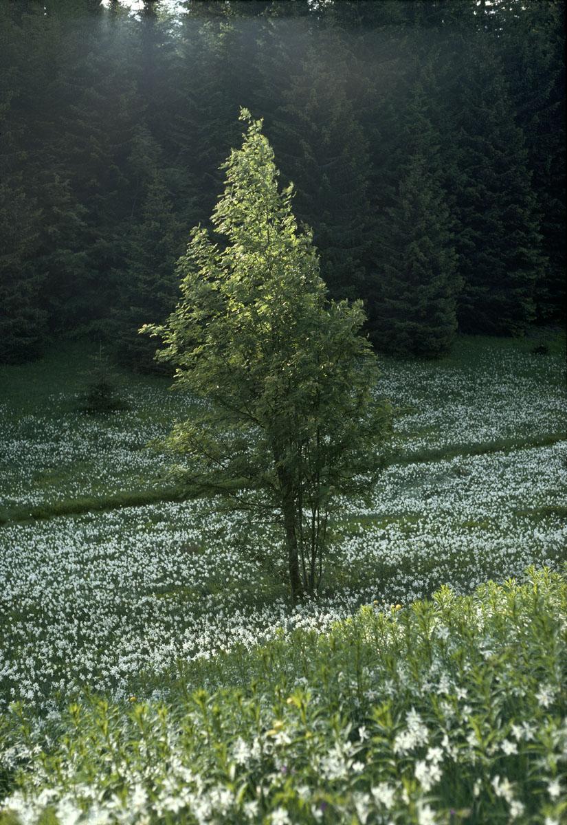 La photographie montre un arbre dans une prairie fleurie.