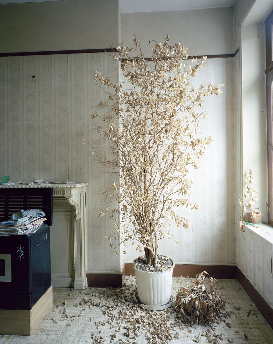 Vue d'un ficus desséché dans un appartement